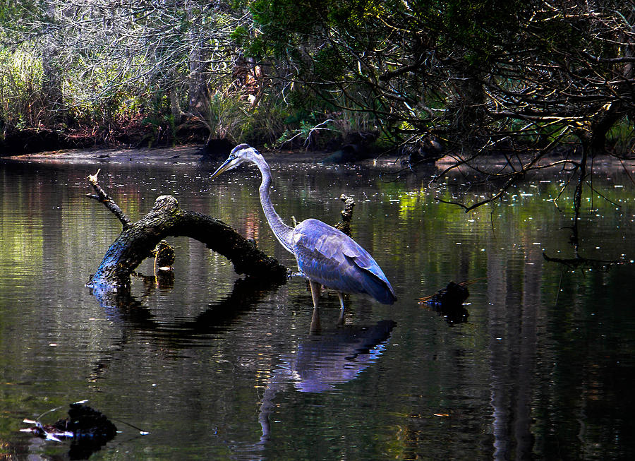 Heron And Root Photograph