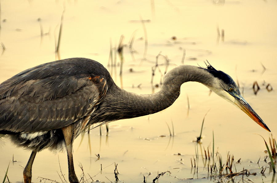 Heron Fishing Photograph