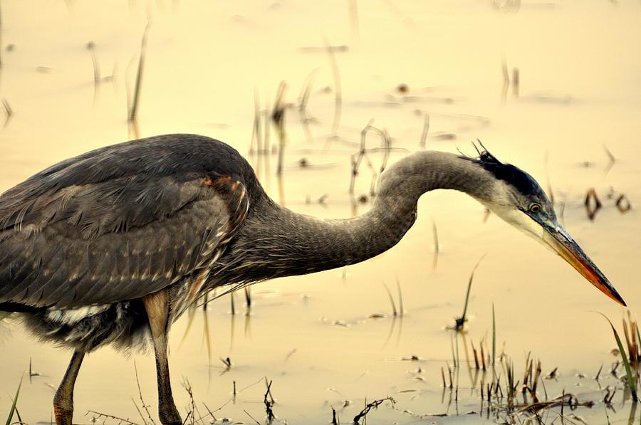 Bird Photograph - Heron Fishing by Marty Koch