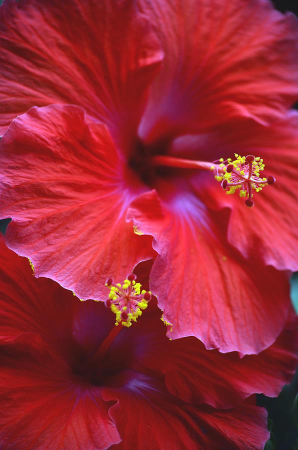 Hibiscus Duo Photograph