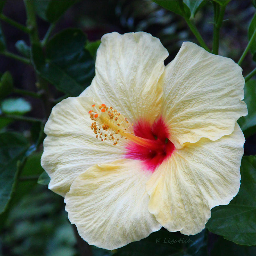 Hibiscus Faded Beauty Photograph  - Hibiscus Faded Beauty Fine Art Print