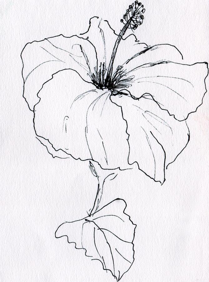 Line Art Hibiscus : Hibiscus drawing imgkid the image kid has it