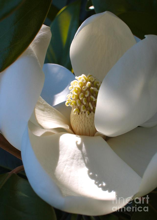 Hidden Magnolia Photograph