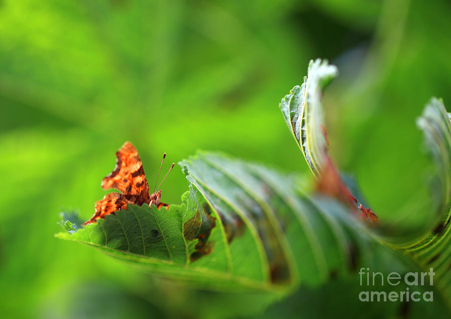 Hiding Comma Butterfly Photograph  - Hiding Comma Butterfly Fine Art Print