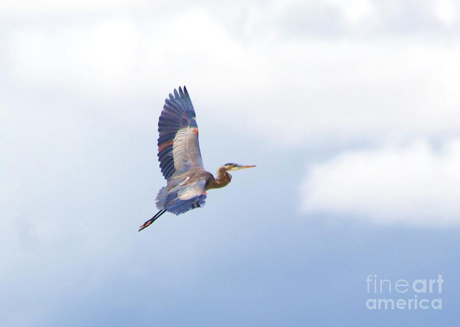 High Flying Blue Heron  Photograph  - High Flying Blue Heron  Fine Art Print