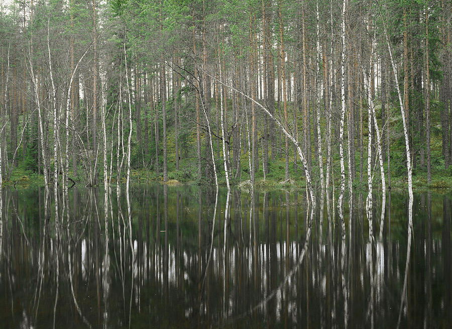 High Waters In A Forest Of Evergreens Photograph