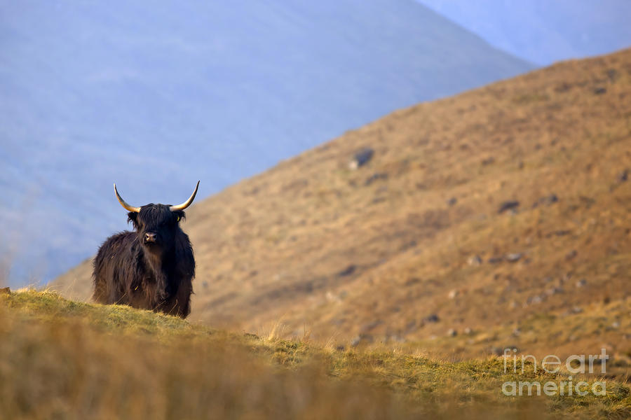 Highland Cow Photograph  - Highland Cow Fine Art Print