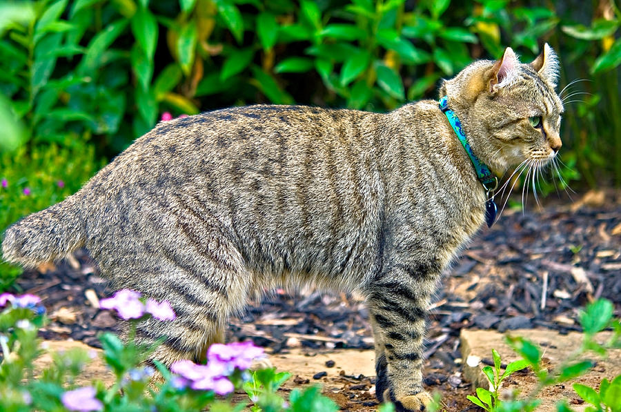 Highland Lynx Cat In Garden Photograph