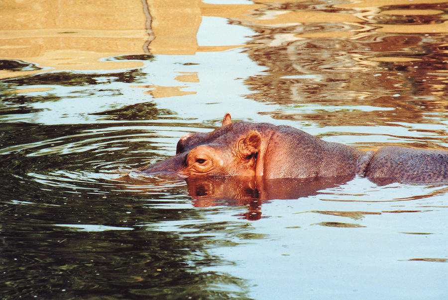 Hippo Scope Photograph  - Hippo Scope Fine Art Print