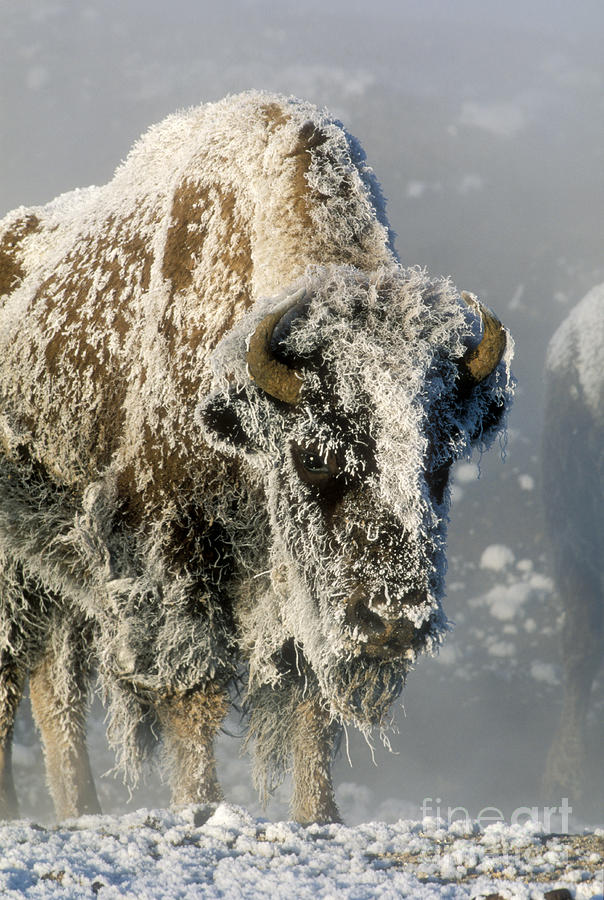 Hoarfrosted Bison In Yellowstone Photograph