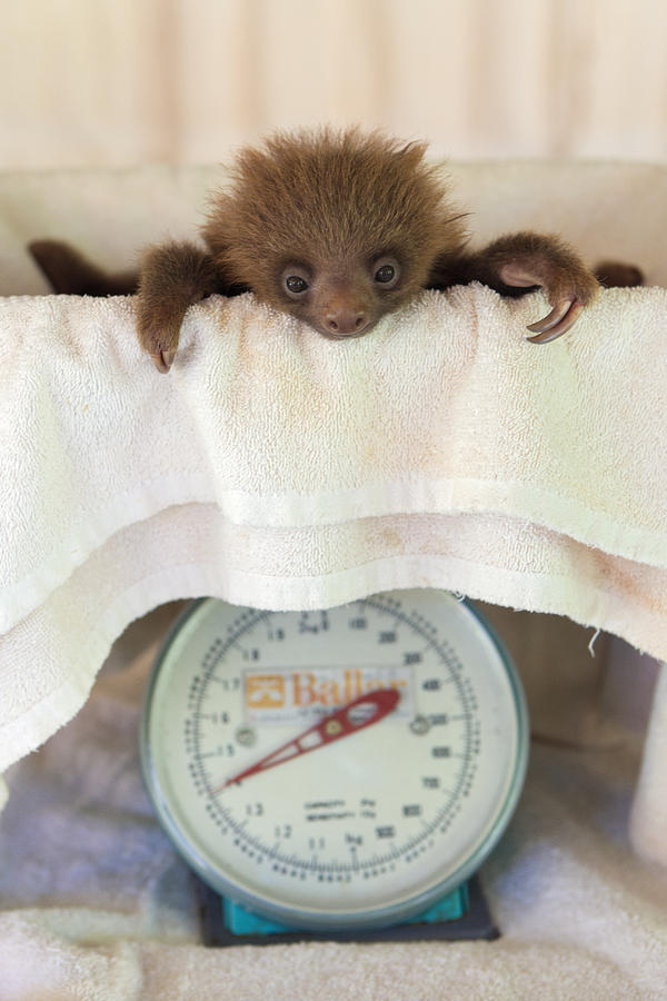 Hoffmanns Two-toed Sloth Orphan Photograph  - Hoffmanns Two-toed Sloth Orphan Fine Art Print