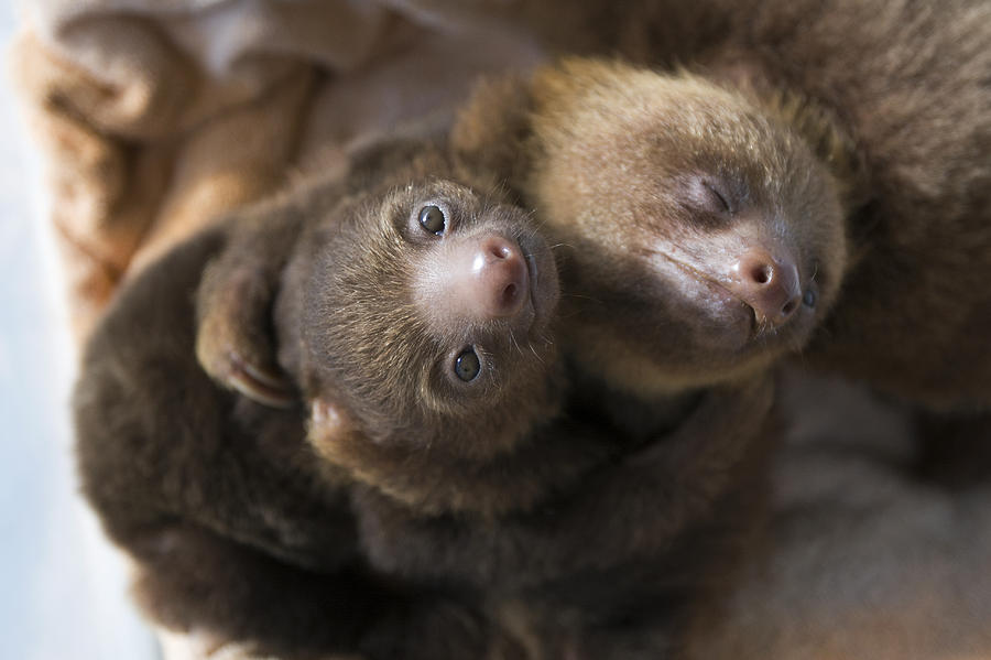 Hoffmanns Two-toed Sloth Orphans Hugging Photograph  - Hoffmanns Two-toed Sloth Orphans Hugging Fine Art Print