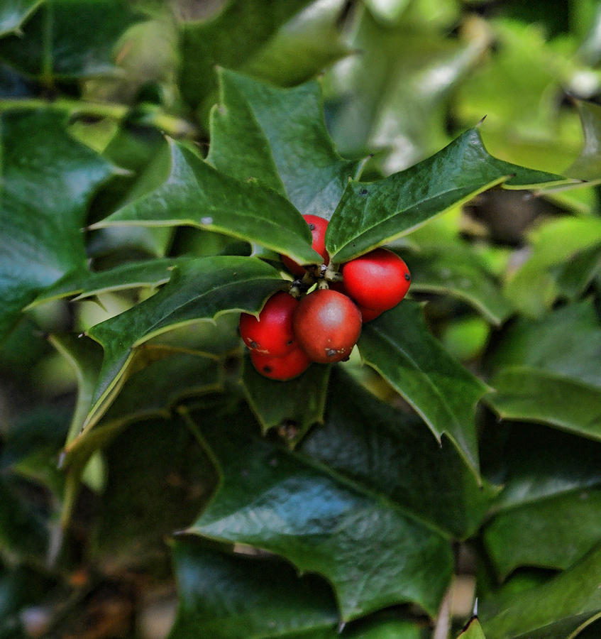 Holly Berries Photograph  - Holly Berries Fine Art Print