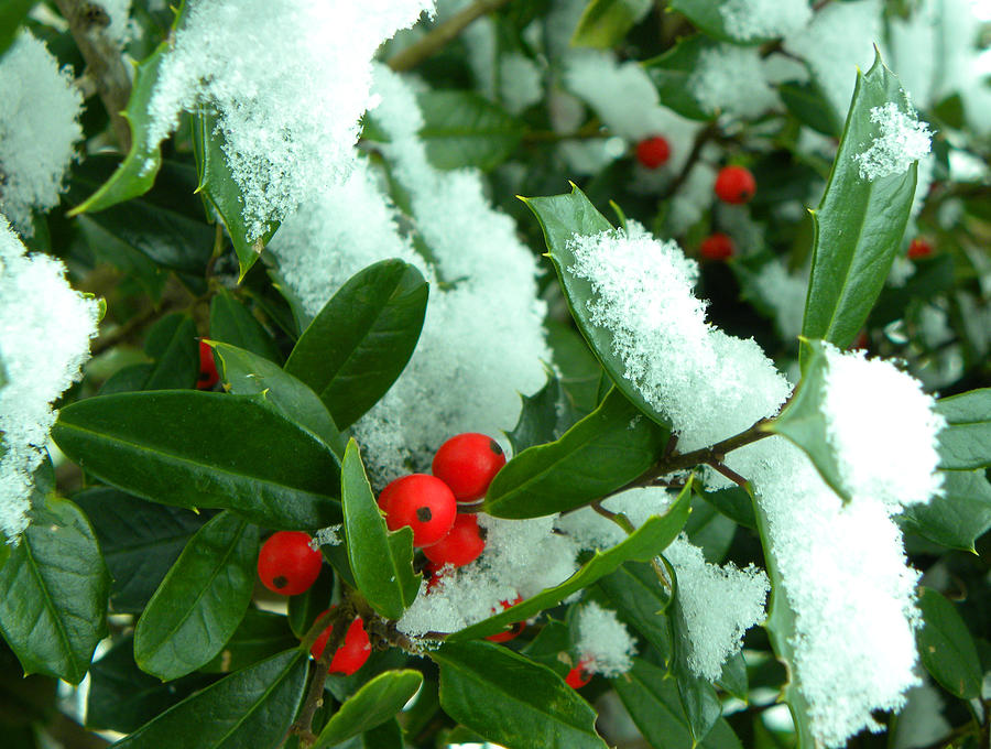 Holly In Snow Photograph