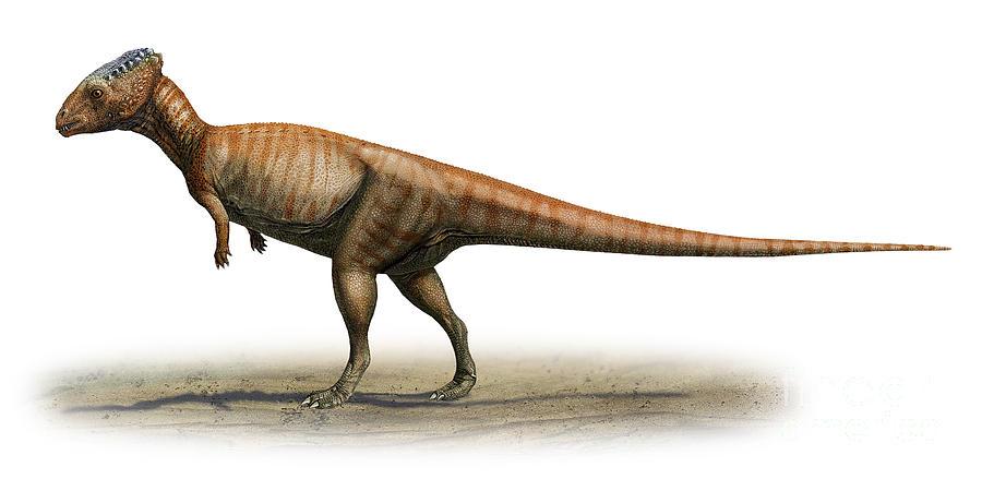 Dino Mystère ! - Page 5 Homalocephale-calathocercos-sergey-krasovskiy