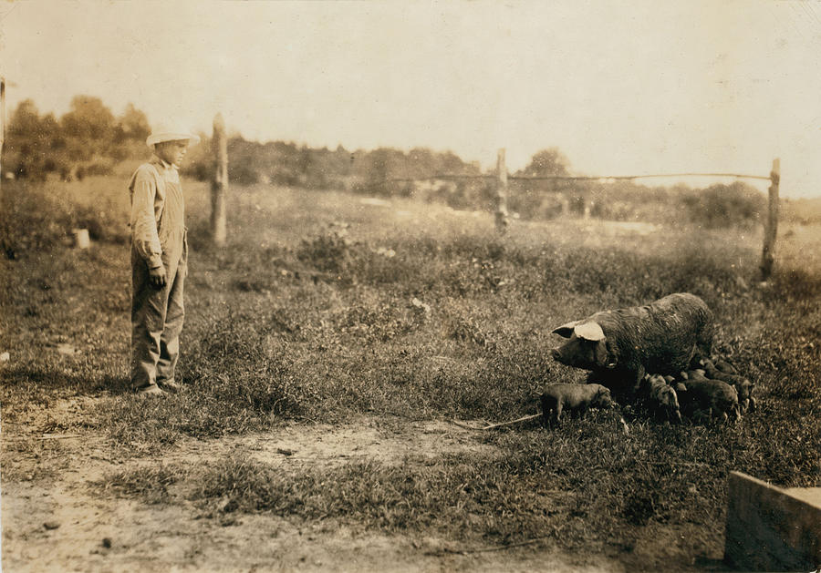 1910s Photograph - Homer Hunt Tending Pigs, Rockcastle by Everett