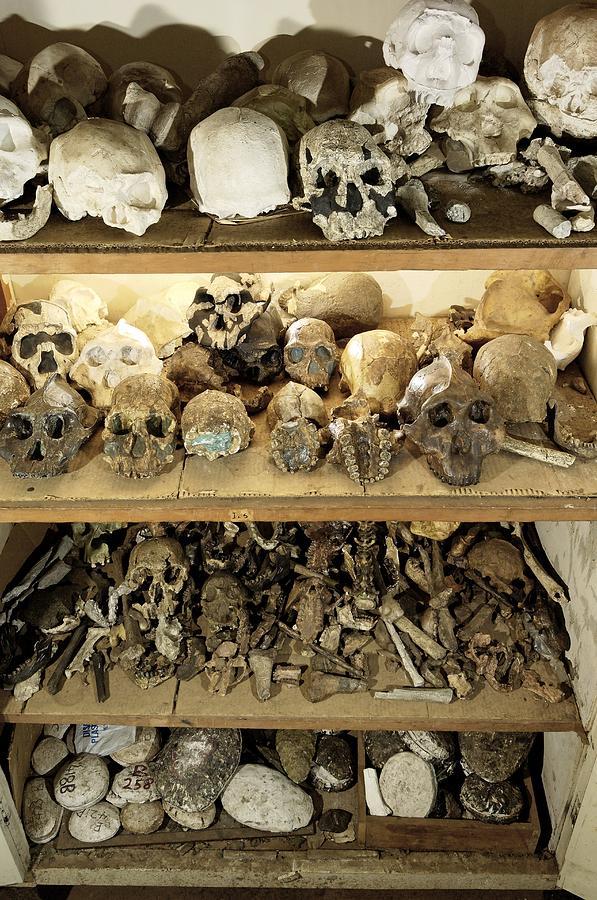 Hominid Skull Casts Photograph