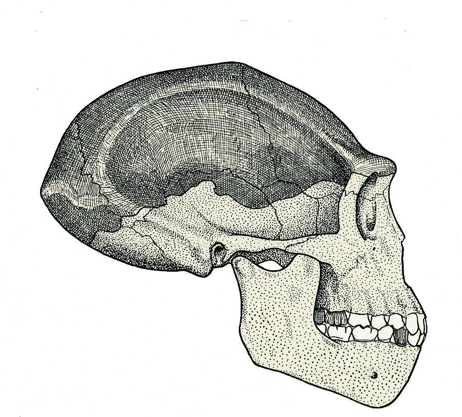 Homo Erectus Skull Photograph