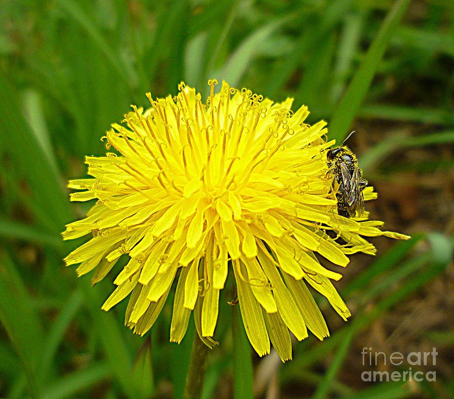Honey Bee Full Of Pollen Photograph