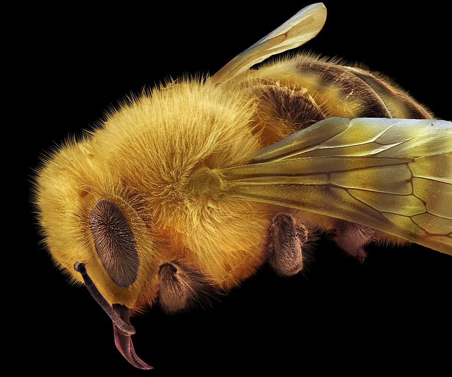 Honey Bee, Sem Photograph