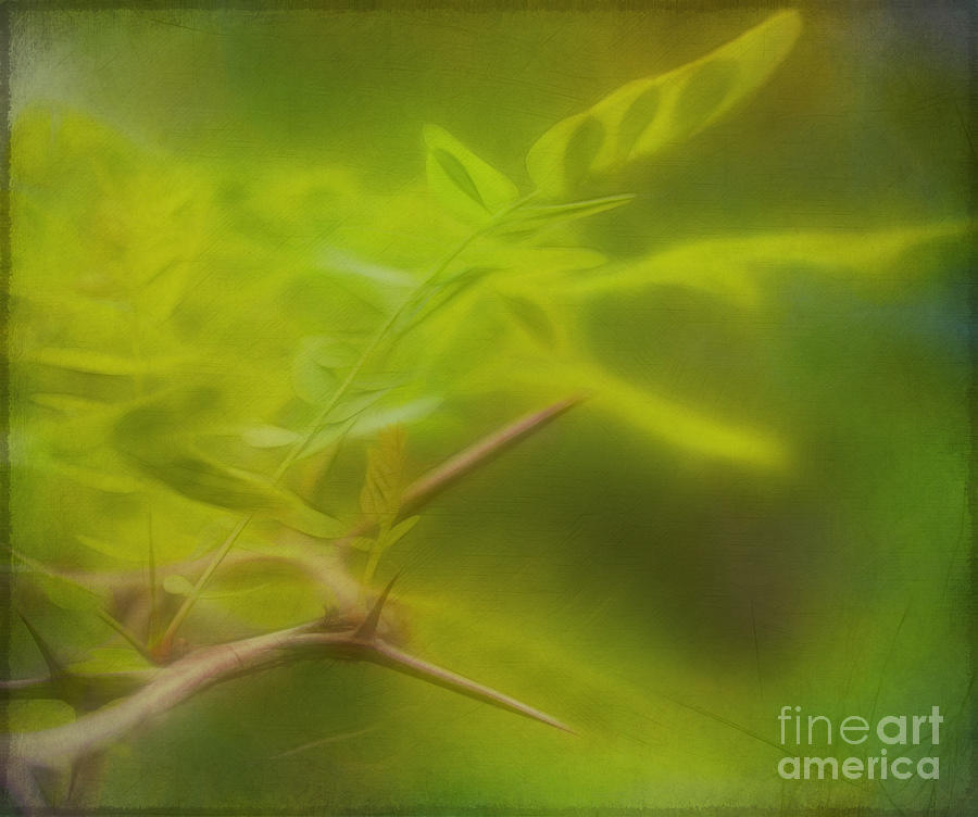 Honey Locust Photograph  - Honey Locust Fine Art Print