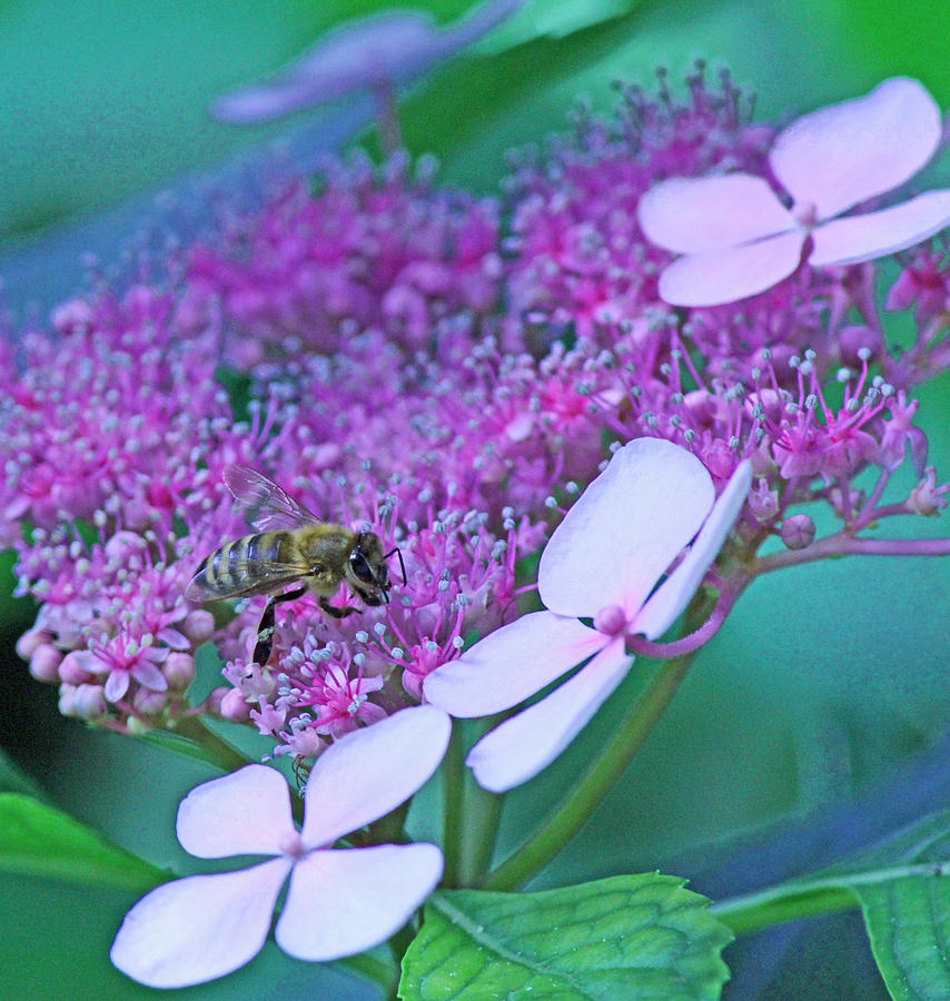 Honeybee On Pink Lace Photograph