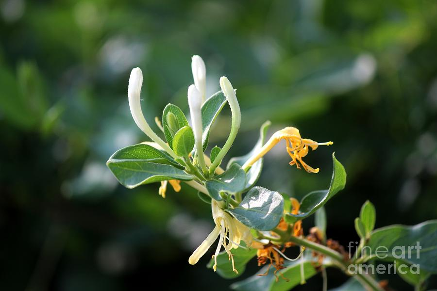 Honeysuckle Photograph - Honeysuckle by Theresa Willingham