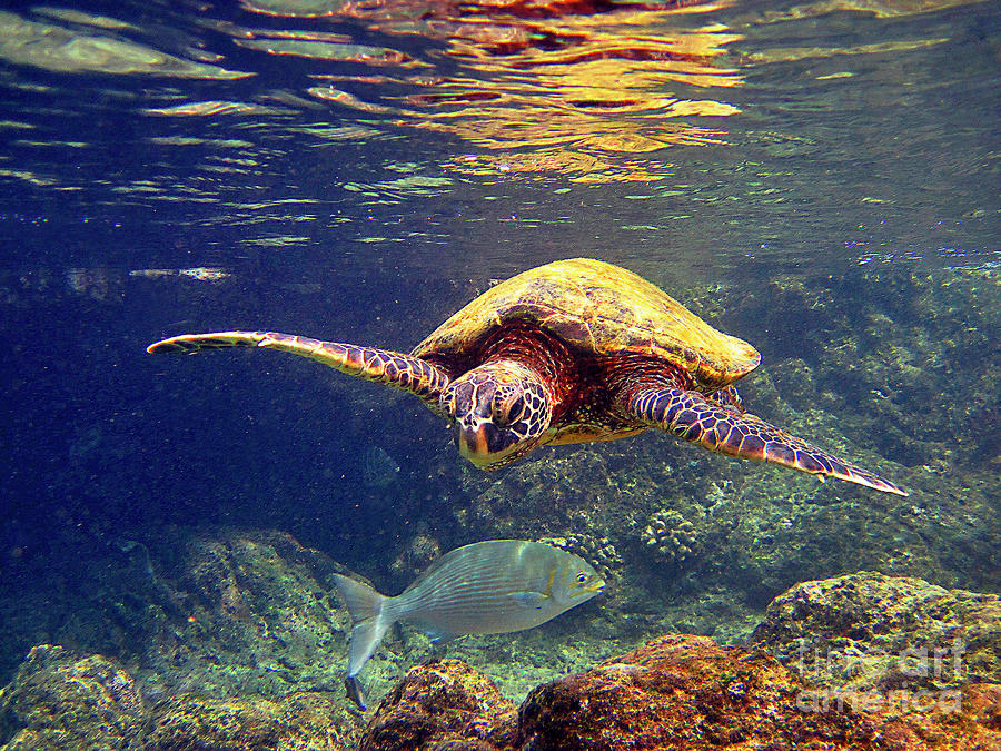 Honu with reef fish by bette phelan