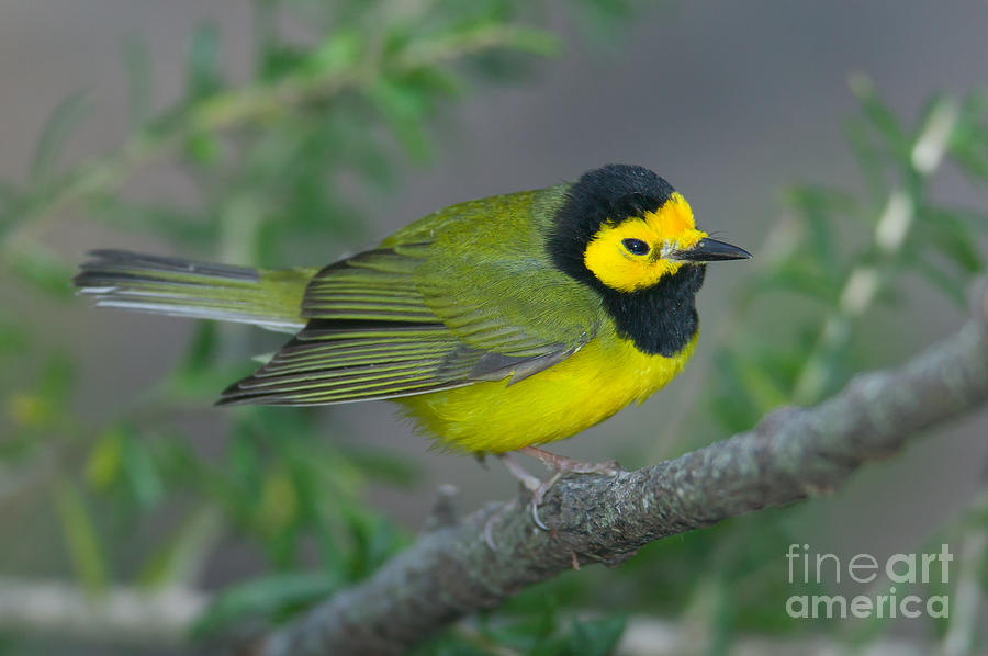 Clarence Holmes Photograph - Hooded Warbler by Clarence Holmes