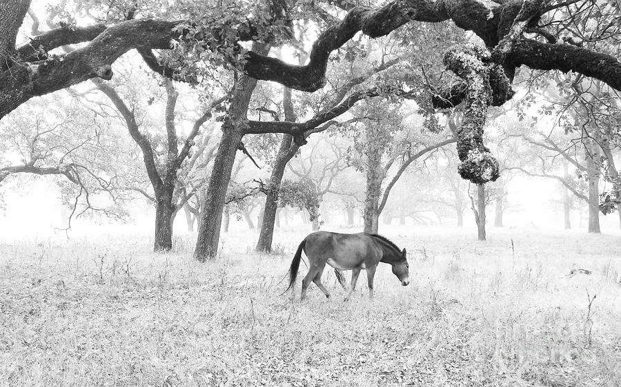 Horse In Foggy Field Of Oaks Photograph  - Horse In Foggy Field Of Oaks Fine Art Print