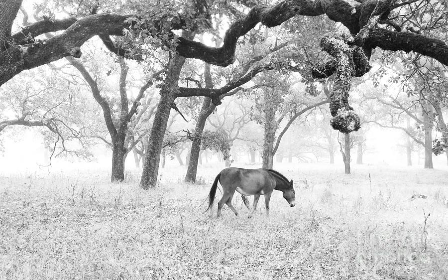 Horse In Foggy Field Of Oaks Photograph