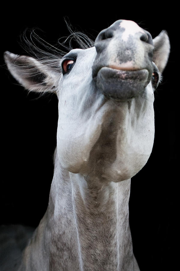 Horse Pulling Face Photograph