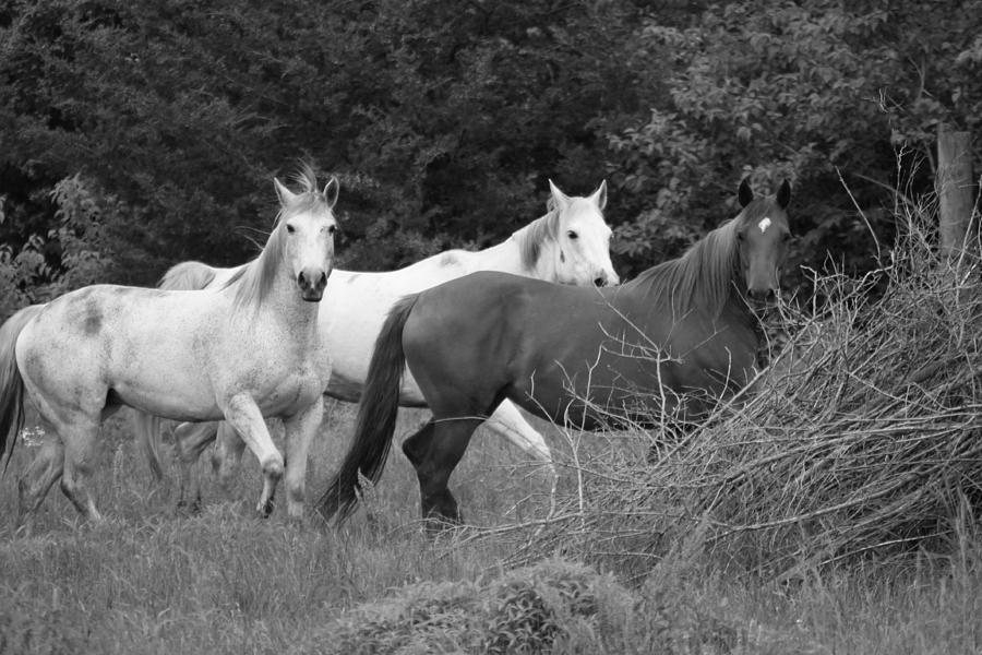 Horses In Black And White Photograph