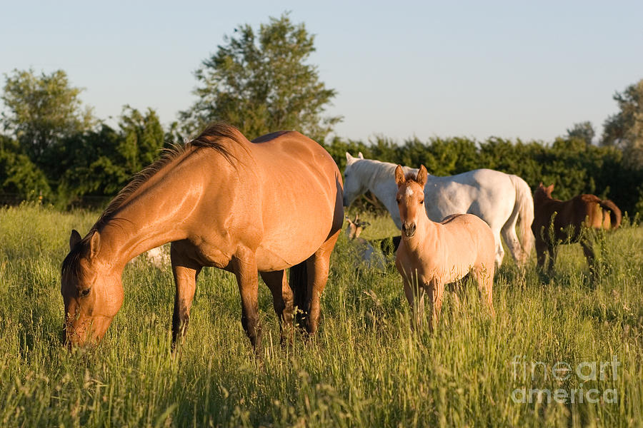 Horses In Green Grassy Pasture Photograph