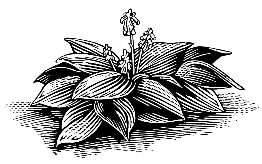 Hosta, Lino Print Photograph
