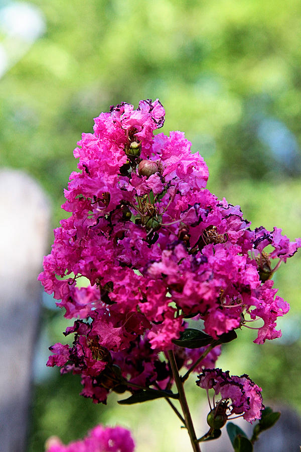 Floral Photograph - Hot Pink by Toni Hopper