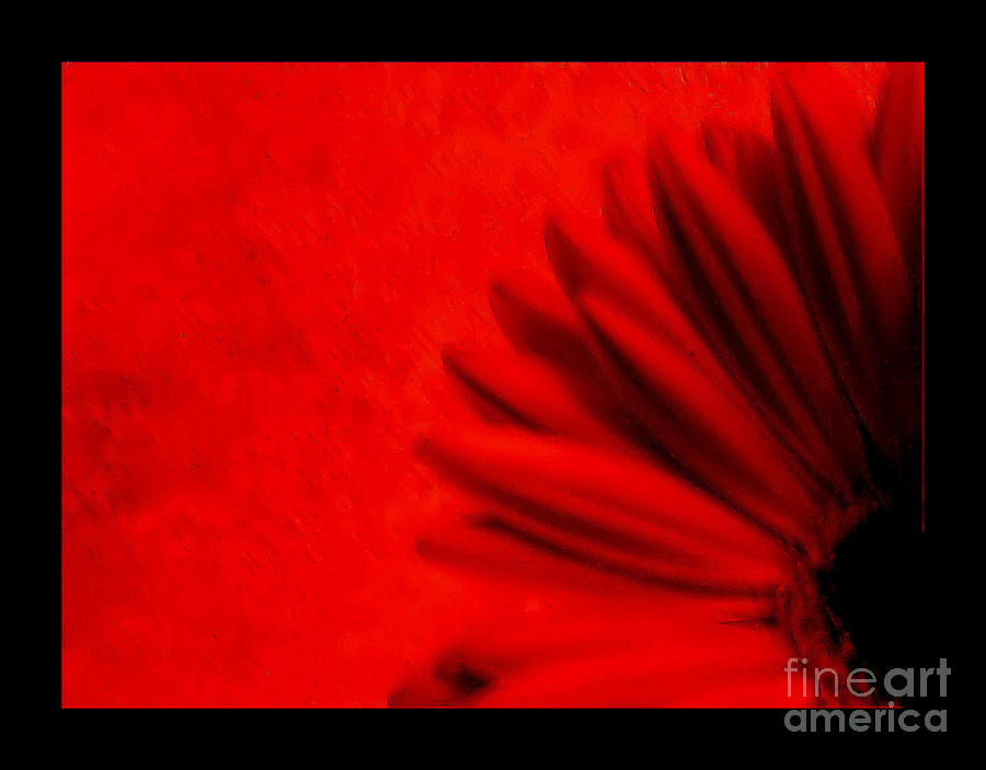 Hot Red Gerber Daisy Photograph  - Hot Red Gerber Daisy Fine Art Print