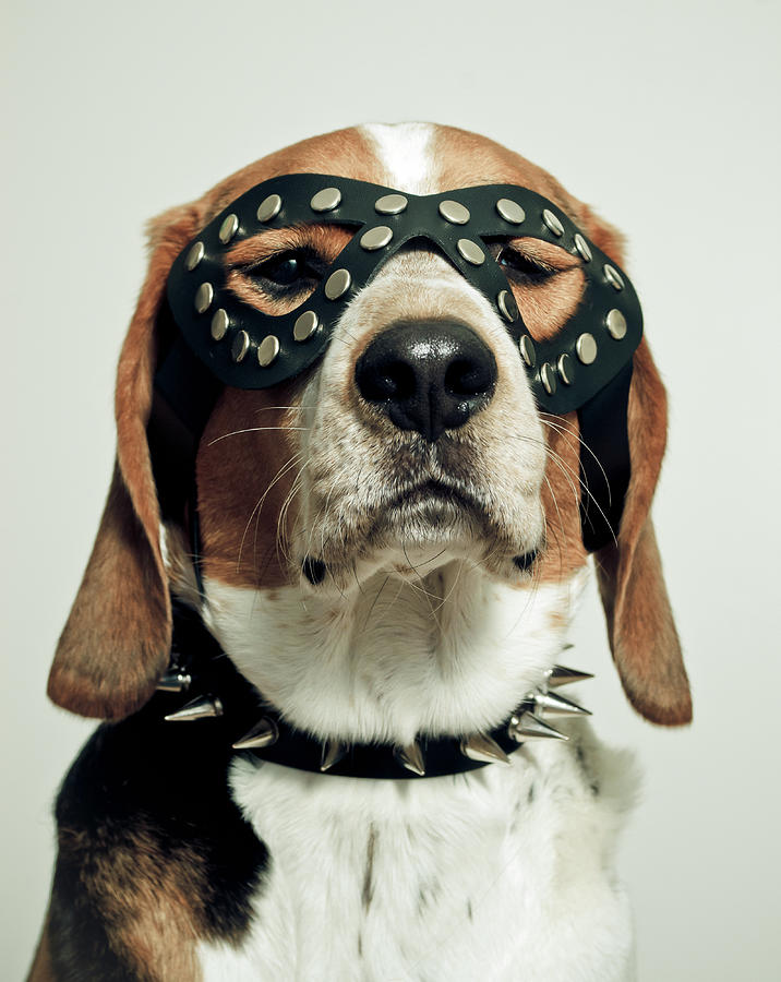 Hound In Black Mask Photograph