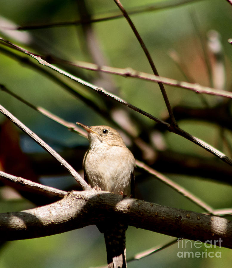 House Wren Photograph  - House Wren Fine Art Print