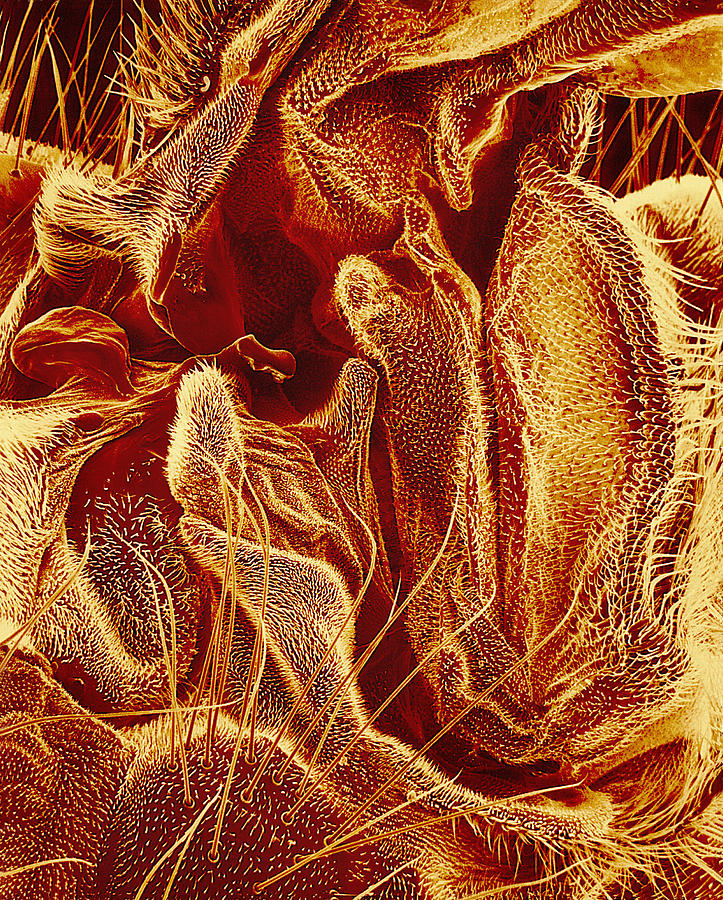 Hover Fly Photograph - Hover Fly Body Surface, Sem by Susumu Nishinaga