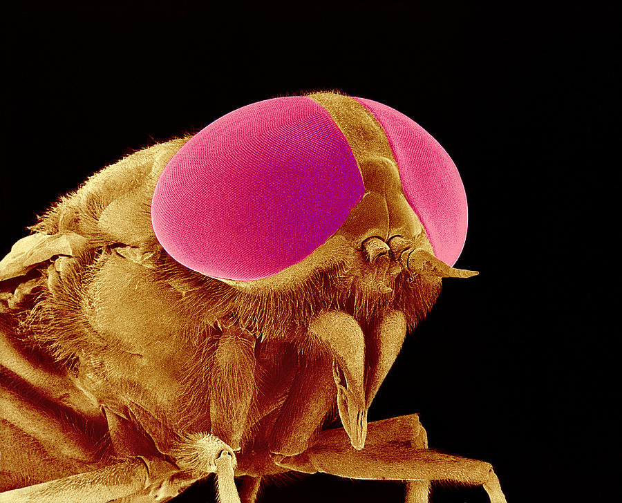 Hover Fly Head, Sem Photograph