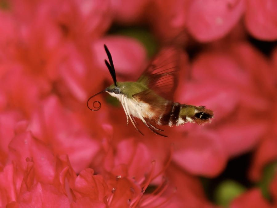 Hovering Clearwing Hummingbird Moth Photograph