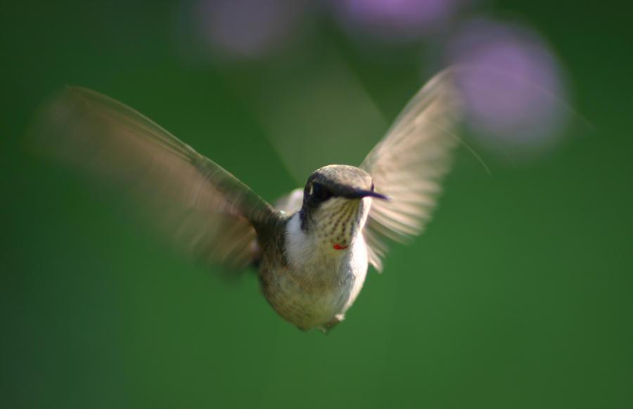 Hovering Hummingbird Photograph