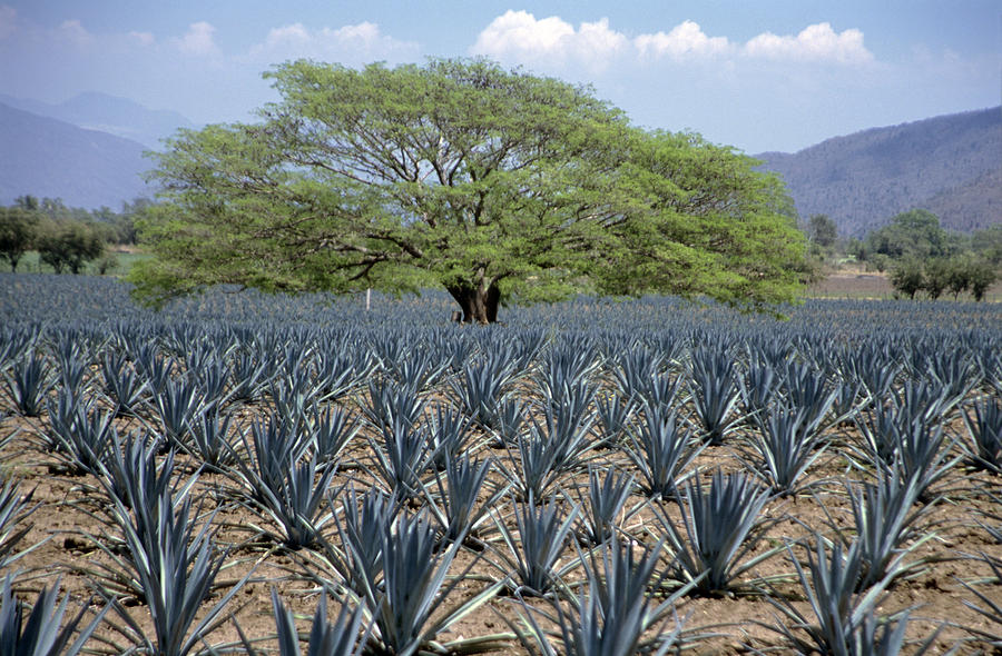 Blue Agave Tequila Plant Blue Agave Plants Tequila