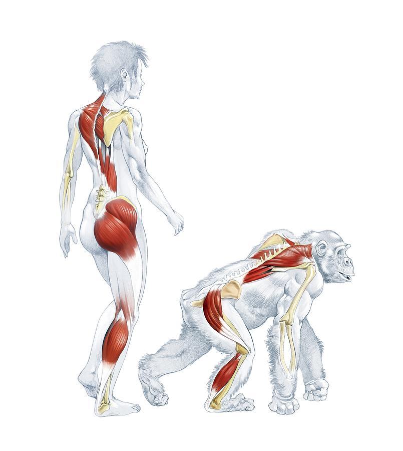 Gorilla muscle structure - animalcarecollege.info