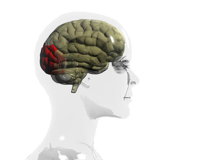Human Body Photograph - Human Brain, Occipital Lobe by Christian Darkin
