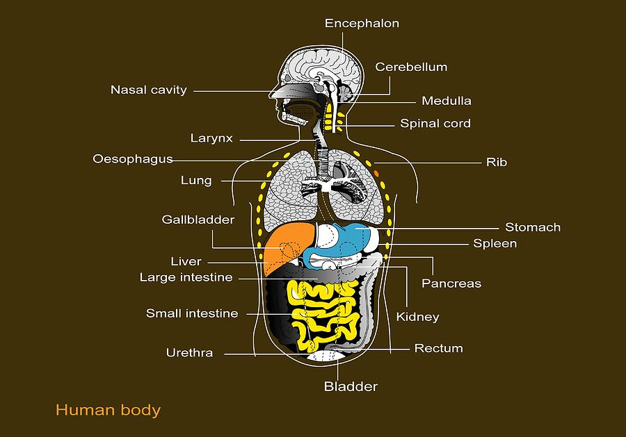 Human Internal Organs  Diagram Photograph By Francis Leroy