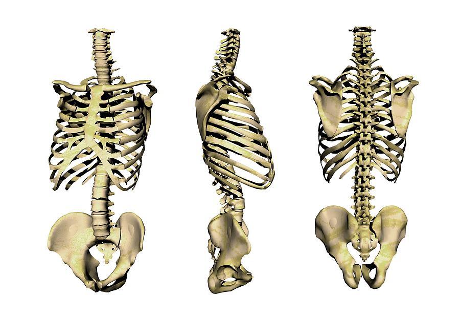 Torso Bone Anatomy Human Skeleton Anatomy