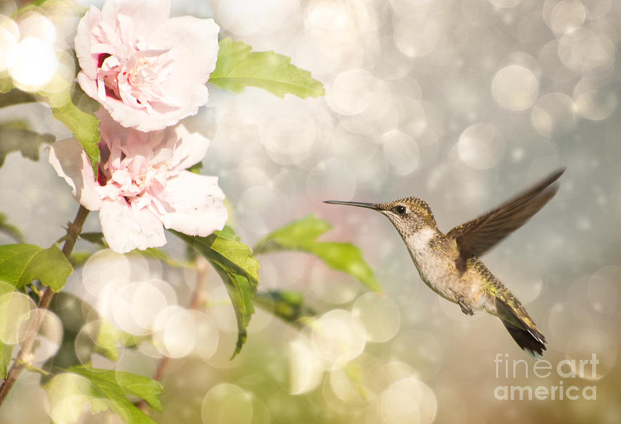 Hummer And Hibiscus Photograph  - Hummer And Hibiscus Fine Art Print