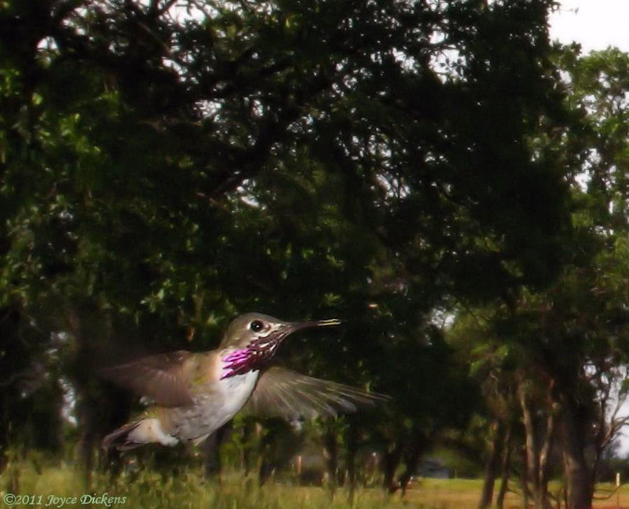 Bird Photograph - Hummer In Flight by Joyce Dickens